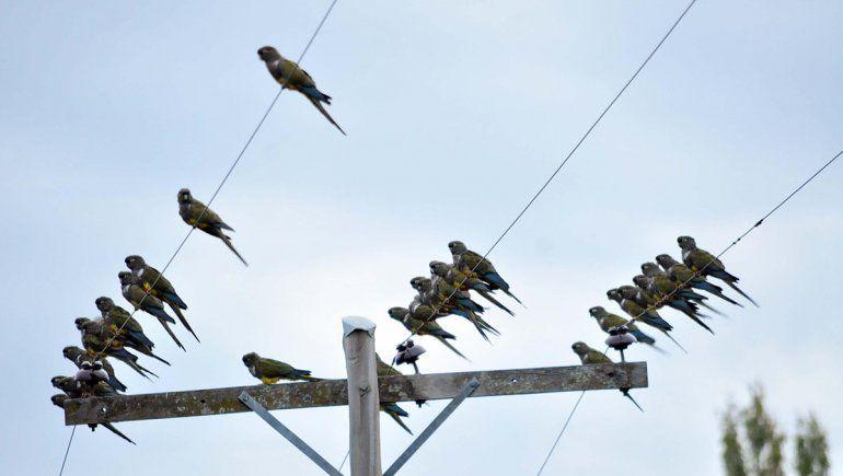 Los loros ponen en jaque al servicio eléctrico de Loncopué
