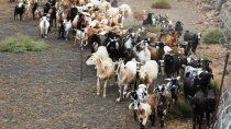 traeran perros pastores para ahuyentar pumas y zorros