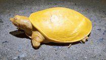 video: hallan tortuga amarilla y con ojos rosados en india