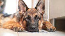 murio el primer perro en dar positivo por covid-19