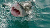 sudafrica: tiburon blanco devora cebo delante de un grupo de turistas ¡escalofriante!