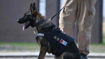 perros pueden oler y detectar personas con covid-19