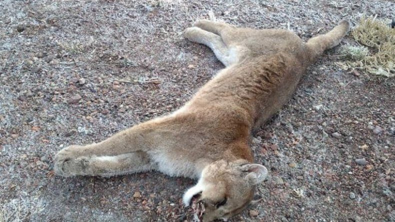 Salta: prisión para los sujetos que mataron a un puma