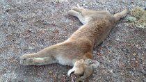 salta: prision para los sujetos que mataron brutalmente a un puma ¡video!