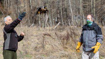 un halcon volvio a volar despues de 40 dias de rehabilitacion