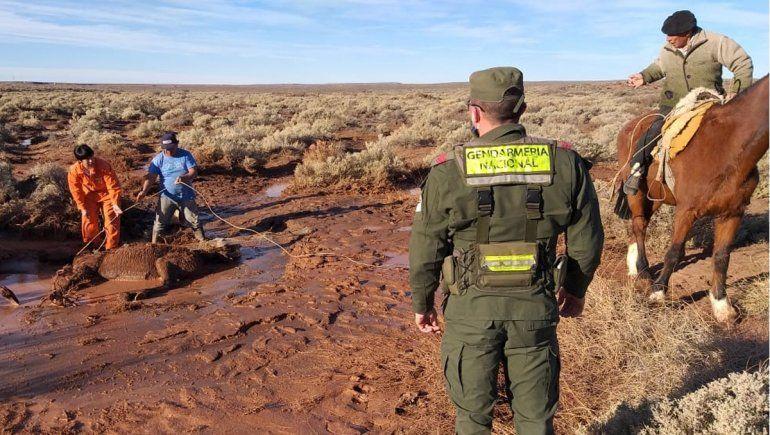 Gendarmes rescataron a un caballo empantanado en un mallín