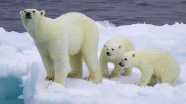 Afirman que los osos polares están en peligro de extinción