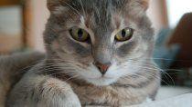hoy es el dia internacional del gato: por que se celebra tres veces al ano