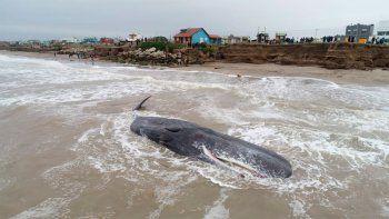 mar del plata: una ballena quedo varada en la costa