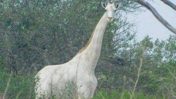 fotografian a la ultima jirafa blanca que queda en la tierra