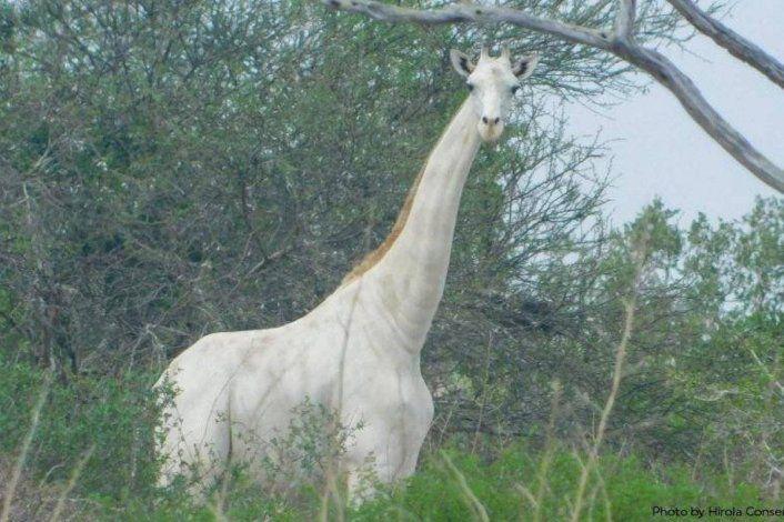 Fotografían a la última jirafa blanca que queda en la Tierra