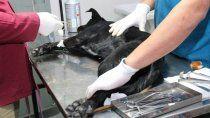 castraciones de mascotas: no dan abasto con los pedidos
