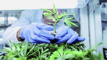 Plottier quiere ser la primera ciudad que permita el cannabis medicinal
