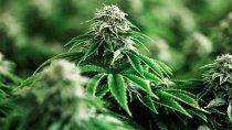 cannabis medicinal: mendoza quiere legalizar su produccion y venta