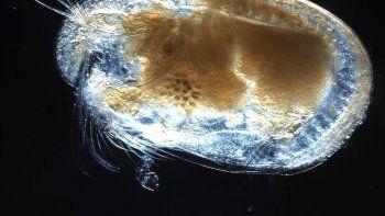 hallaron el semen mas antiguo en un ambar en myanmar