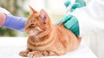 probaran una dosis para gatos contra el covid-19