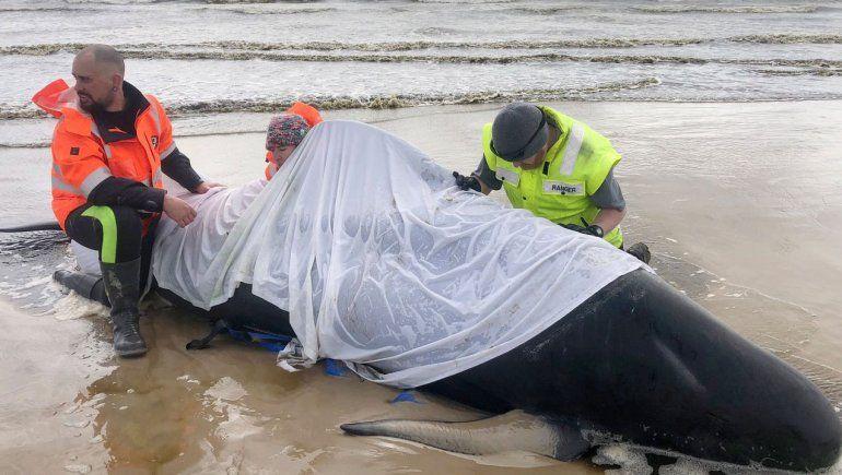 La mayoría de las ballenas varadas en Australia no pudieron ser rescatadas.