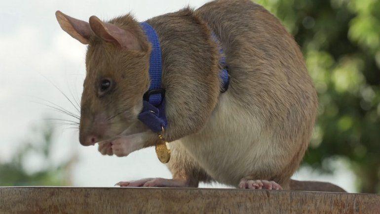 Condecoran a rata por salvar vidas humanas detectando minas