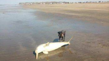 El delfín muerto en la playa de El Cóndor, en Viedma. Una vecina lo encontró.