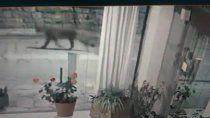 un puma paseando por el centro de bariloche