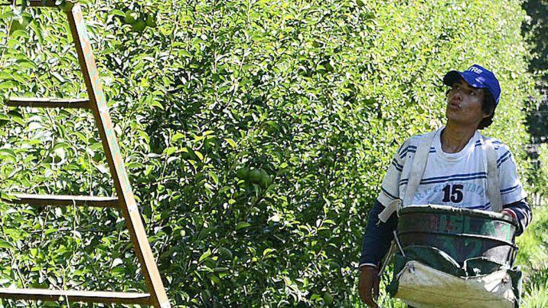 La cosecha de la pera Williams estará comenzando esta semana.