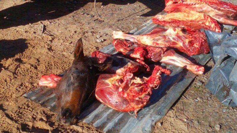 Llevaban escondido un caballo descuartizado en una camioneta