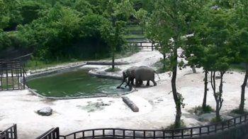 Bebé elefante cae al estanque y sus padres corren a salvarlo