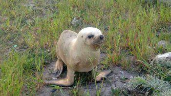 Rescataron a un lobo marino abandonado en un baldío