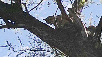 Encontraron un puma arriba de un árbol en una chacra de Regina