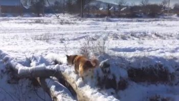 Un perro quiso cruzar un puente y falló en el intento
