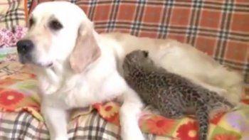 Una perra solidaria adoptó a un leopardito abandonado
