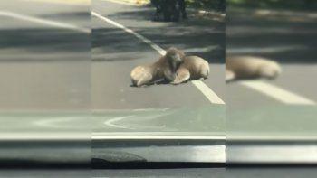 Koalas se desconocieron y terminaron a las piñas