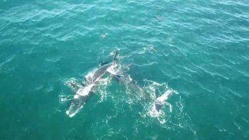 Llegaron las primeras ballenas de la temporada