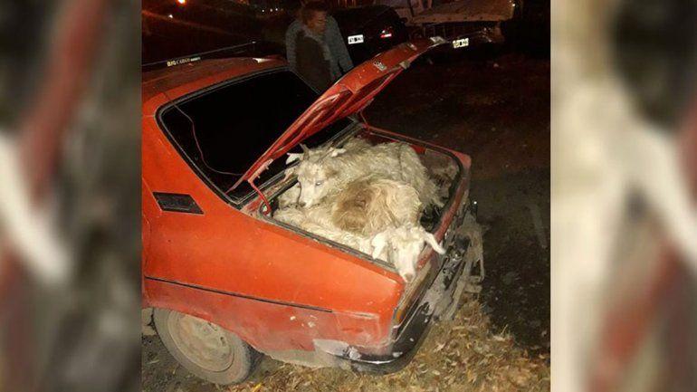 Insólito: viajaba en un R12 con 19 chivos vivos en su interior