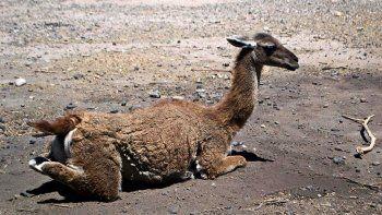 gaspar, el guanaco que robaron de una reserva, aparecio mutilado