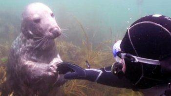 el tierno encuentro entre un buzo y una foca bebe