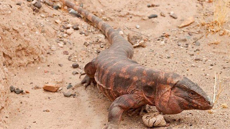 Alertan sobre la presencia de una especie protegida en el Alto Valle