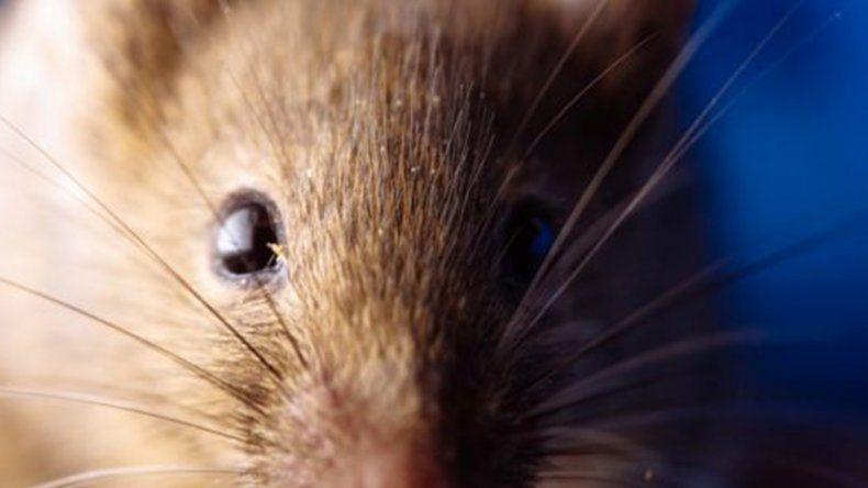 Cuáles son los síntomas del hantavirus y cómo evitar su contagio