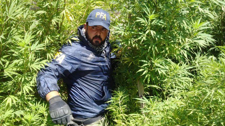 Secuestraron 13 plantas de marihuana en un narco vivero