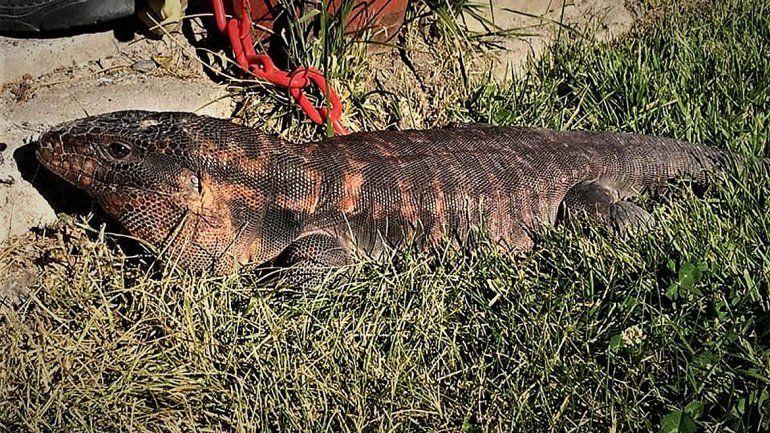 Apareció un lagarto colorado en un barrio de Cipolletti y causó pánico entre los vecinos