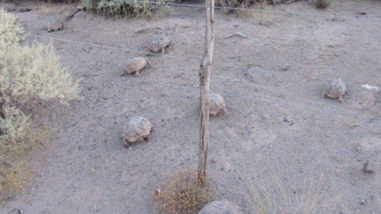Los atraparon contrabandeando tortugas y les podrían aplicar una multa de $150 mil