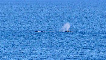 las grutas: llegaron las ballenas y dieron un espectaculo emocionante