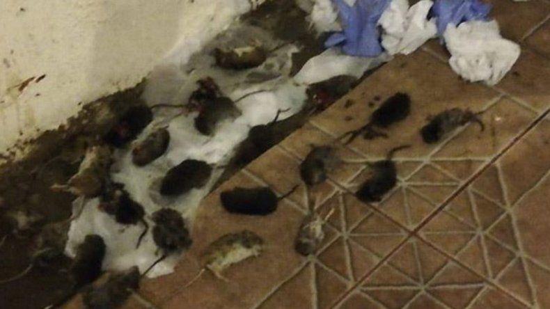 Autoridades de Chile toman medidas para reducir la cantidad de roedores en el Paso Samoré