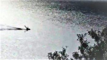 graban a un ciervo nadando en el lago nahuel huapi