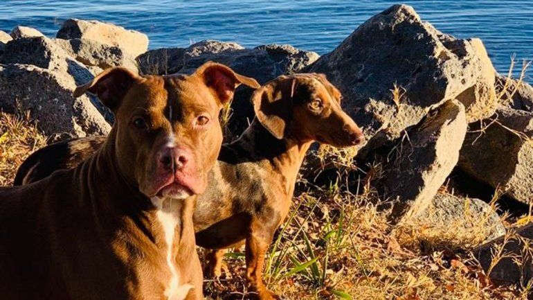 Una vecina teme que envenenen a Dallas, su perrita pitbull