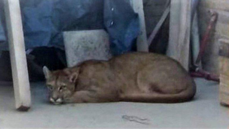 Un puma suelto causó revuelo en un barrio de Neuquén