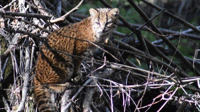 Paseaban en Bariloche y se toparon con el gato más pequeño de América