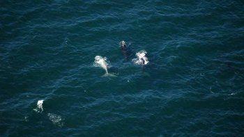 crecio la cantidad de ballenas que visitan la costa rionegrina