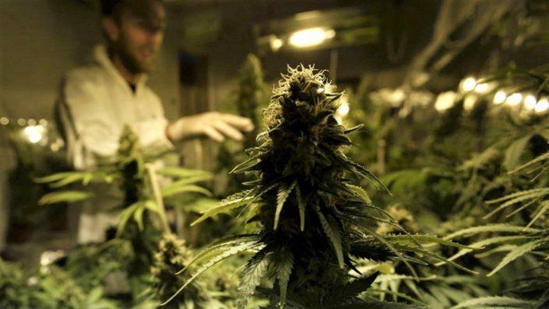 En el Alto Valle se preparan para cultivar marihuana