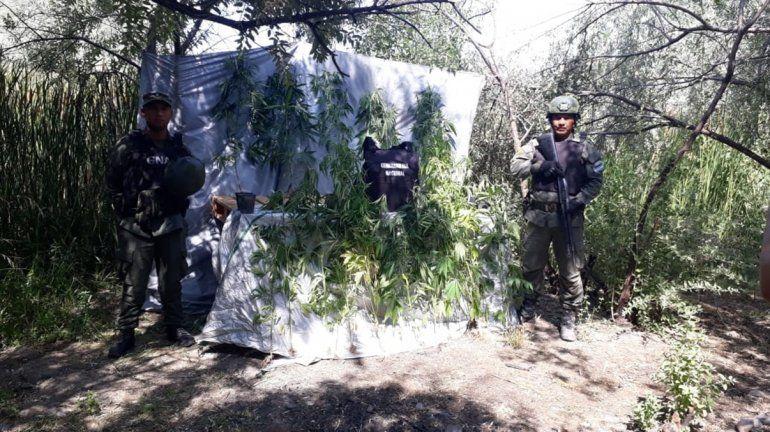Gendarmería Nacional secuestró plantación de marihuana en una chacra de la zona